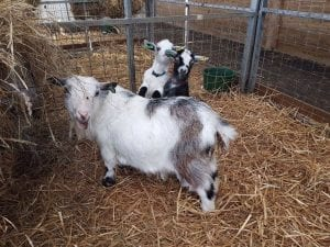 Baby goats with mum at World of Country Life