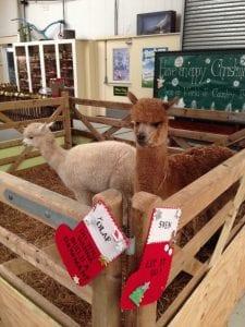 Sven & Olaf the Christmas alpacas