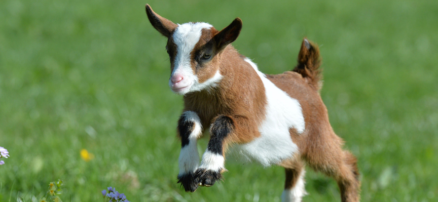 Kid goats at World of Country Life, Exmouth