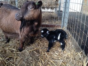 baby goat world of country life